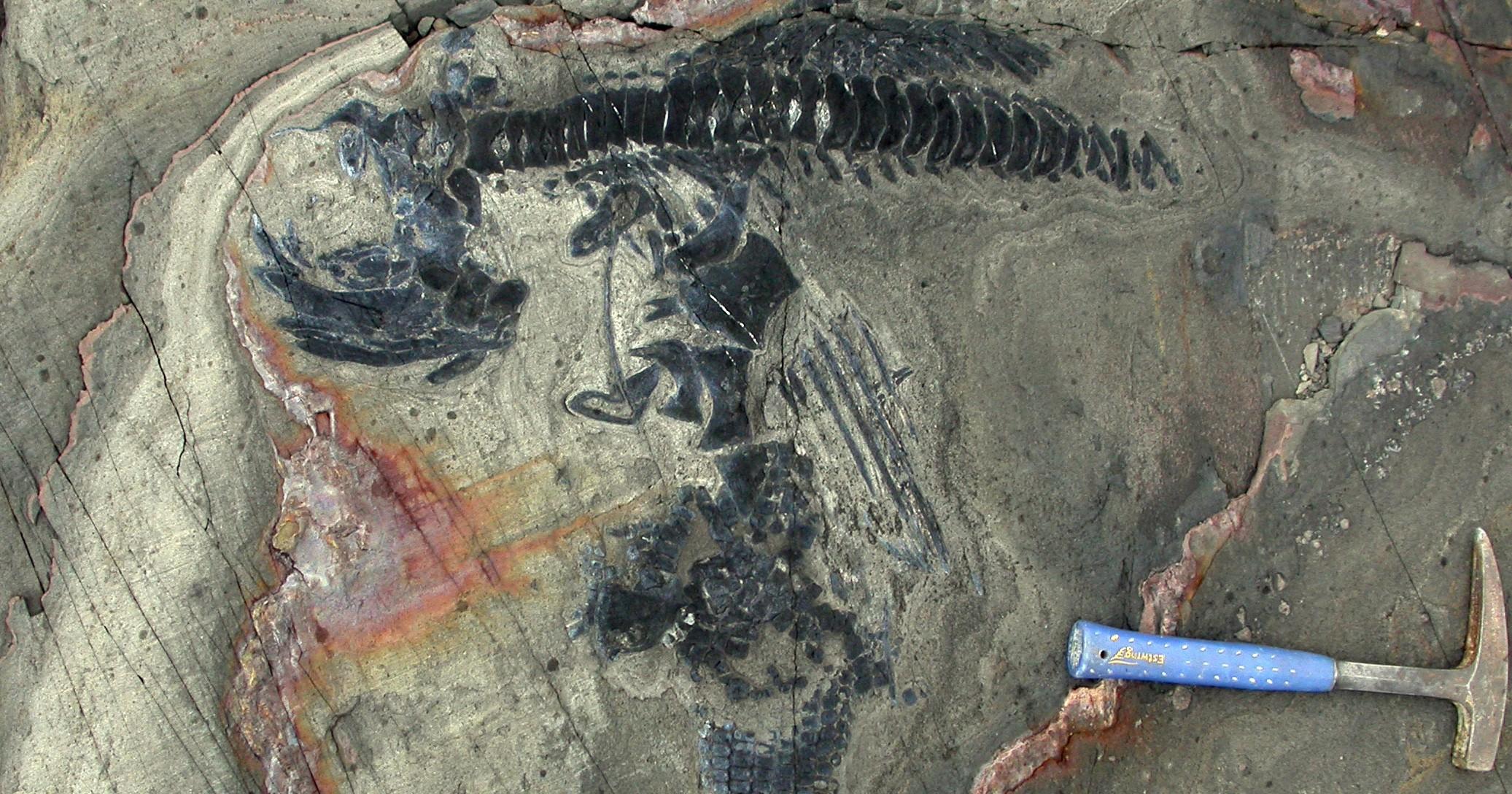 Skelett eines Ichthyosauriers aus dem National Park Torres del Paine (Chile). Foto: Wolfgang Stinnesbeck