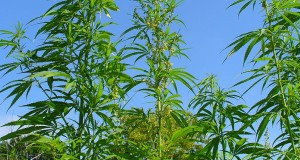Umfrage: Sollte Cannabis legalisiert werden?