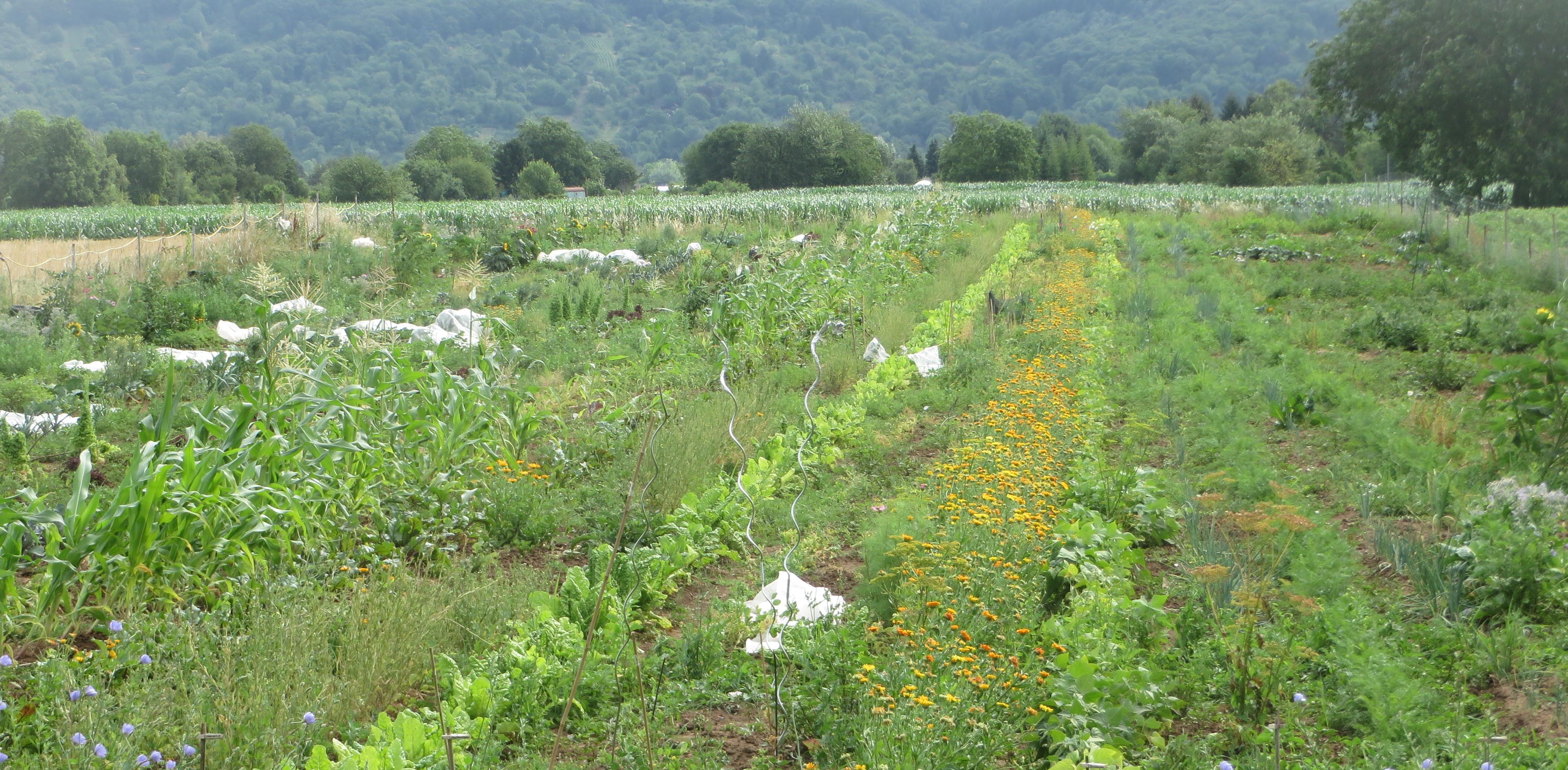Auf der zwei Hektar großen Grundfläche erstrecken sich 50 Gemüsegärten. Bild: Michael Abschlag