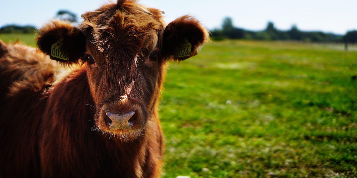 Die Kuhpocken waren der Schlüssel zur ersten Impfung. Bild: Pixabay